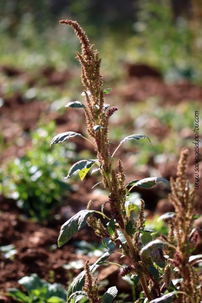Amarantes - Comment passer en floraison ...