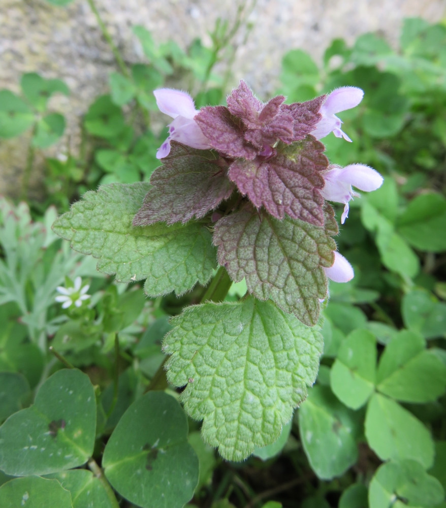 Lamier pourpre, Lamium purpurum, Poitiers quartier Chilvert