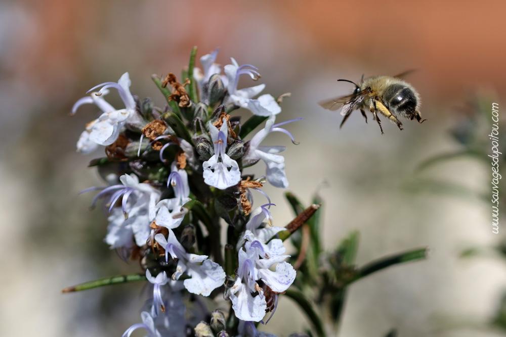Sauvages du poitou romarin officinal on dirait le sud - Le jardin des fleurs poitiers ...