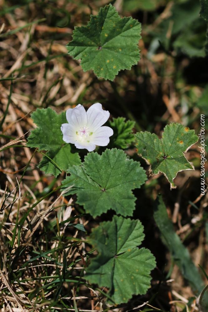 250 graines Wildflower Semences-Renoncule bulbeuse