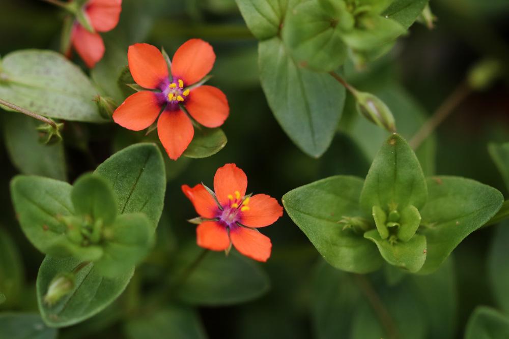 Sauvages du poitou mouron rouge un clown au jardin - Le jardin des fleurs poitiers ...