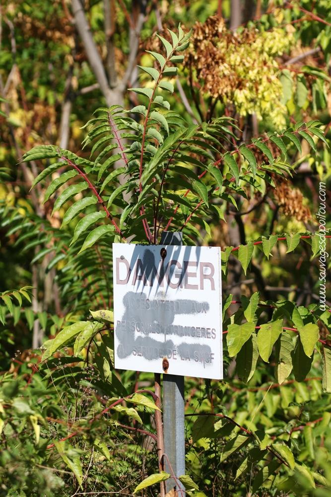 Ailanthus altissima, Ailanthe Faux-vernis du Japon, Poitiers bords de Clain