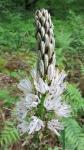 Asphodelus albus, Asphodèle blanc