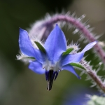 Borago officinalis, Bourrache officinale