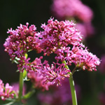 Centranthus ruber, Centranthe rouge