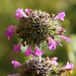 Clinopodium vulgaris, Sariette Commune