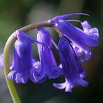Hyacinthoides non-scripta, Jacinthe des bois