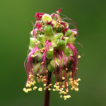 Sanguisorba minor, Petite Pimprenelle