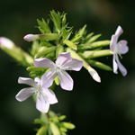 Saponaria officinalis, Saponaire officinale