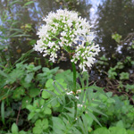 Valeriana officinalis, Valériane officinale