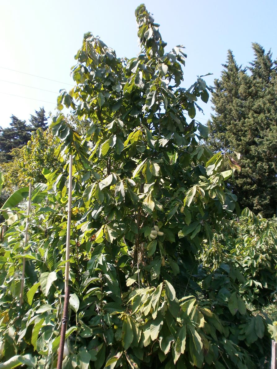 arbres résistant au froid